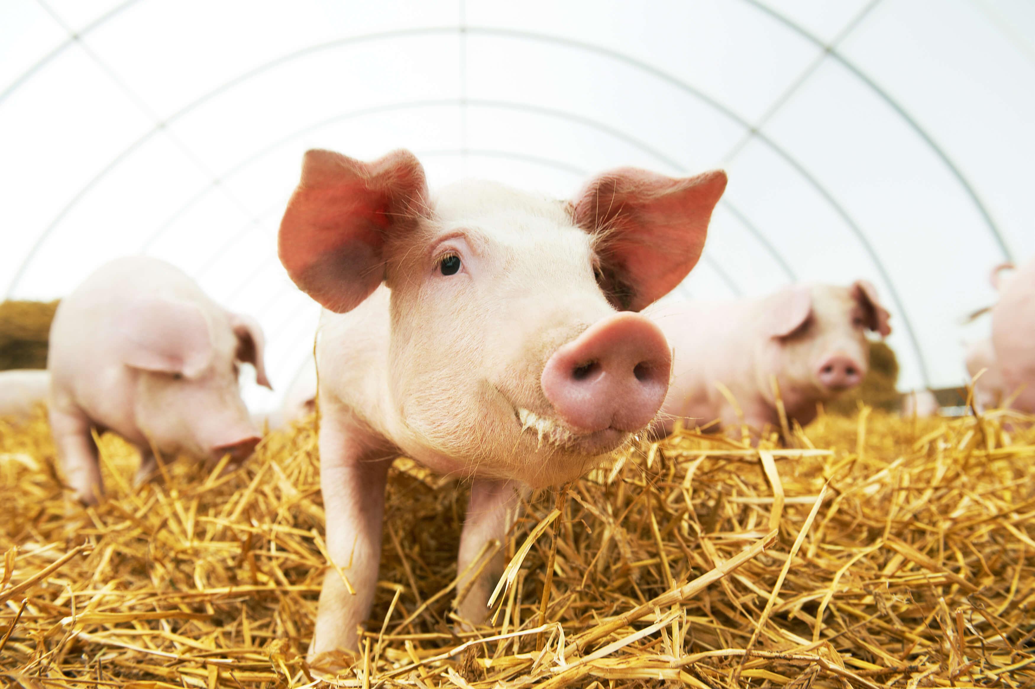 Image: pigs eating hay