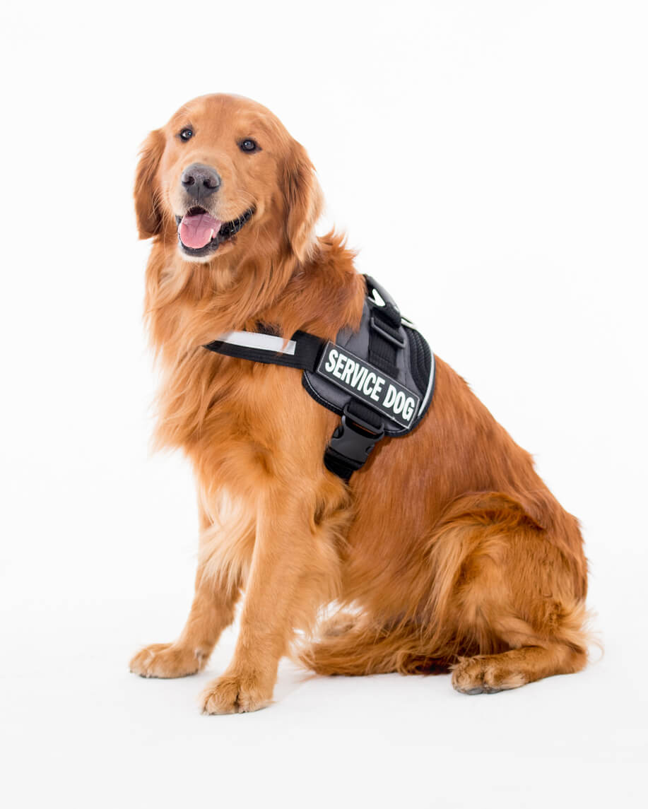 Image: a service dog