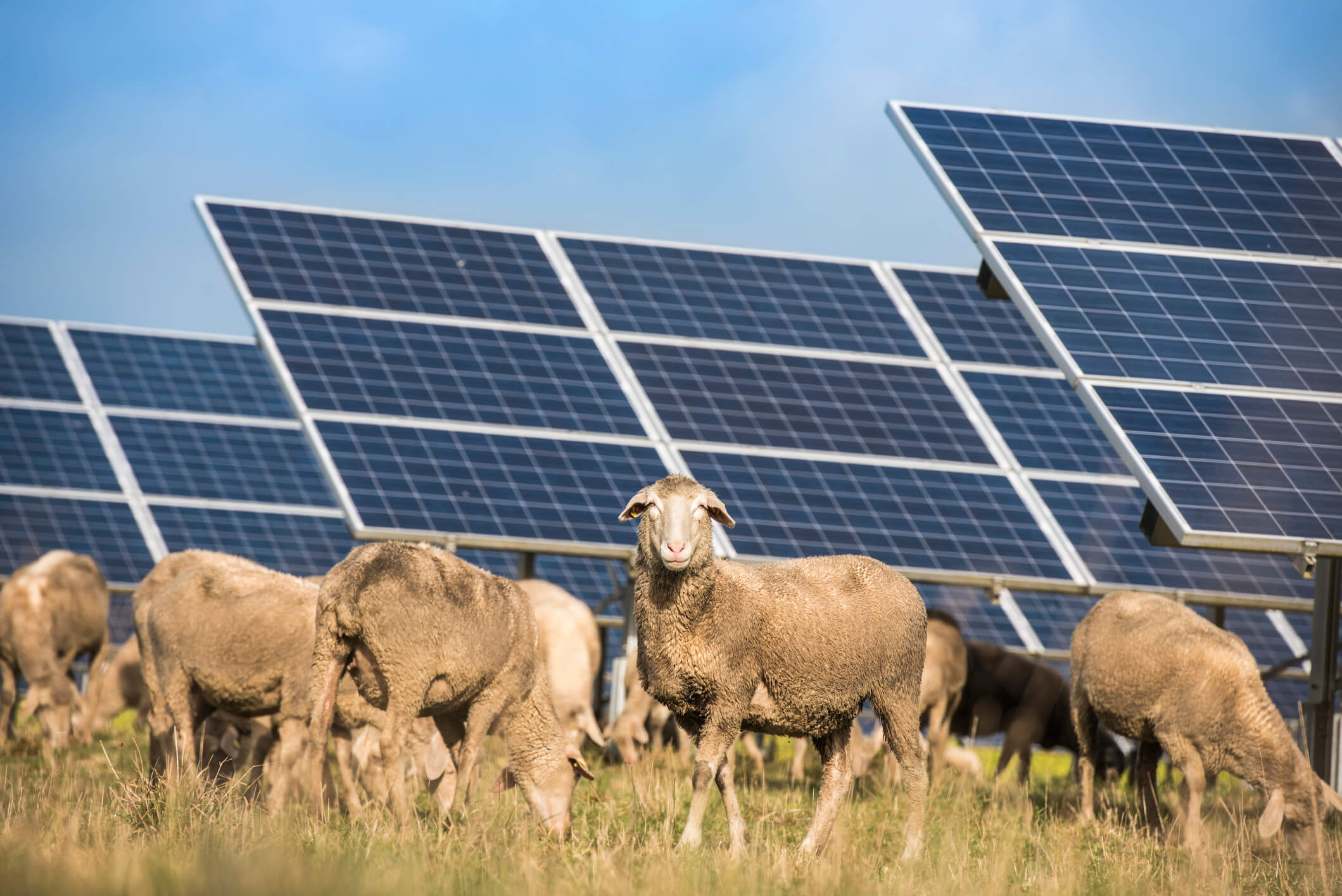 Image: Solar panels with sheep